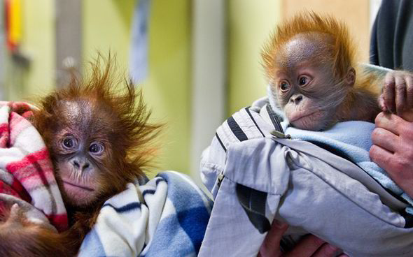 Monkey World Infant Orangutans